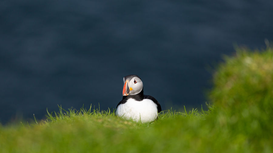 Close-up of puffin perching on grass