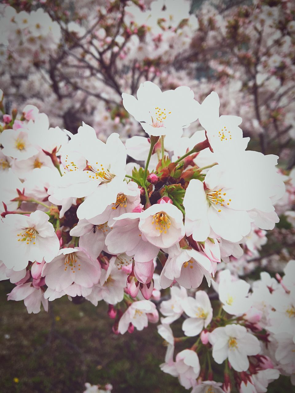 flower, beauty in nature, nature, blossom, tree, fragility, growth, springtime, white color, freshness, petal, apple blossom, branch, no people, pink color, outdoors, day, blooming, close-up, flower head, sky