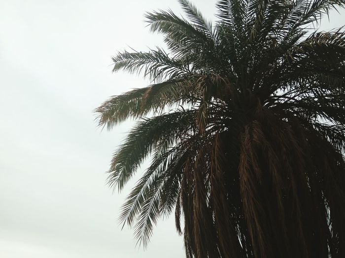Palm Tree Nature Sky Beauty In Nature Playing With Camera Taking Photos Cloud - Sky Winter Sky Adrar