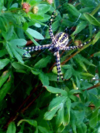 spider Full