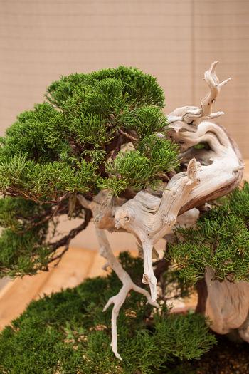 Bonsai Bonsai Tree Close-up Day Freshness Green Color Growth Nature Plant Tree