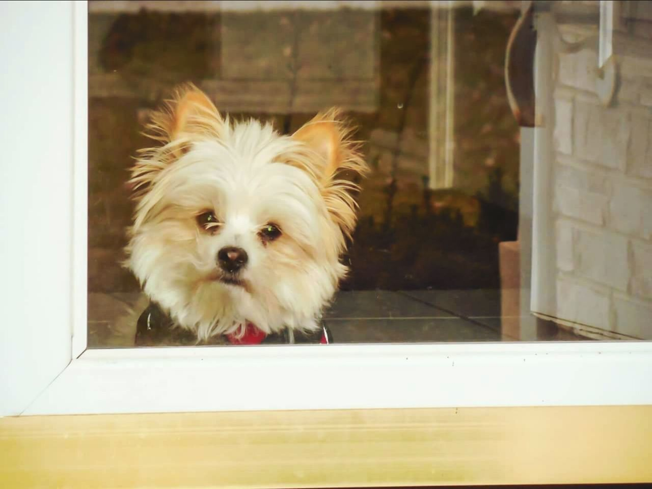 one animal, domestic, mammal, pets, animal themes, domestic animals, canine, dog, animal, vertebrate, glass - material, no people, window, transparent, day, portrait, indoors, looking, reflection, home interior, small