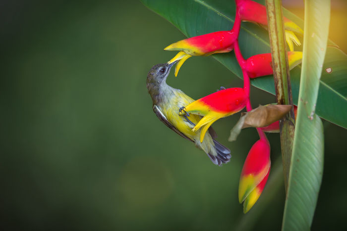 What a sweet sugar. Bird Drinking Flower Heliconia Perching Red Spiderhunter Tiny Yellow Color