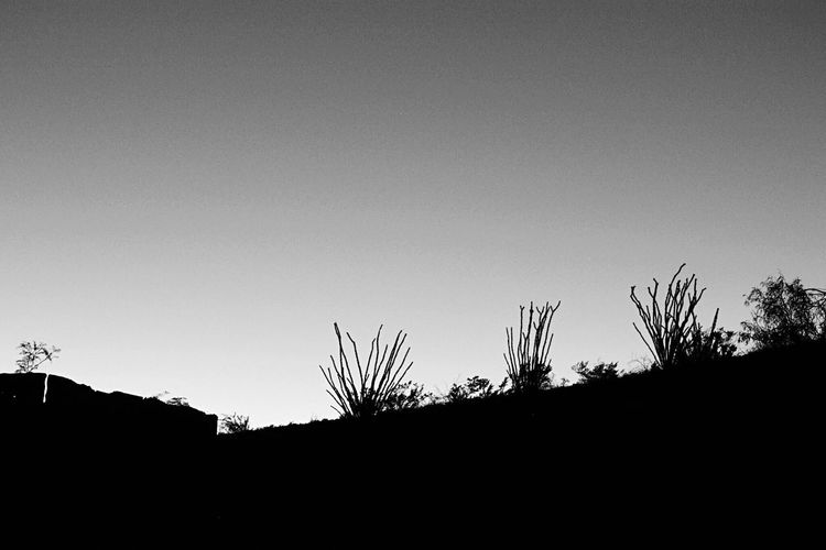 Copy Space Silhouette Clear Sky Tree Nature No People Outdoors Tranquility Beauty In Nature Low Angle View Plant Day Landscape Growth Sunset Sky Deserts Around The World Texas Landscape Bbnp Ocotillo Cactus Silhouette Monochrome Photography