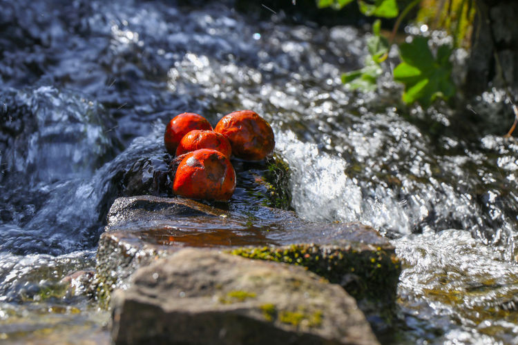Berries on rocks in the water Water Rock Solid Rock - Object No People Day Nature Selective Focus Animal Wildlife Animal Animals In The Wild Animal Themes Motion Outdoors Group Of Animals Red Vertebrate Close-up Flowing Water Flowing Berries Springtime Decadence