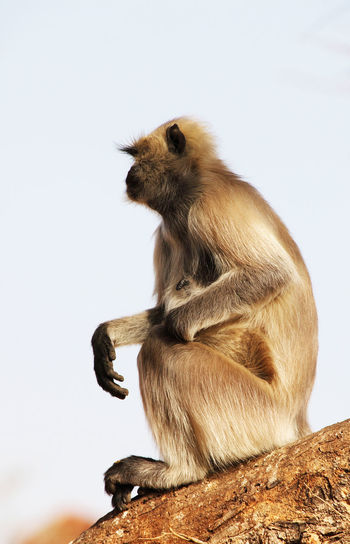 Side view of langur sitting on tree against clear sky