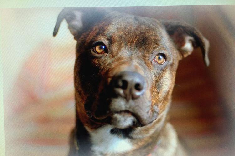 My Boy Bestfriend My World Missing You Very Much Ilovemydog Pitbull Rottweiler Mix 80lbsLapDog
