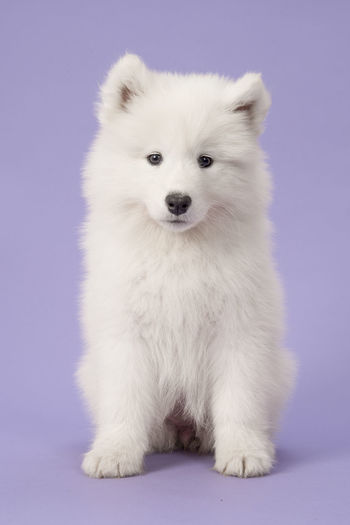 Fluffy white samoyed puppy sitting looking at the camera on a purple background Animal Themes Colored Background Cute Dog Looking At Camera Pets Puppy Purple Background Samoyed Samoyed Puppy White Color