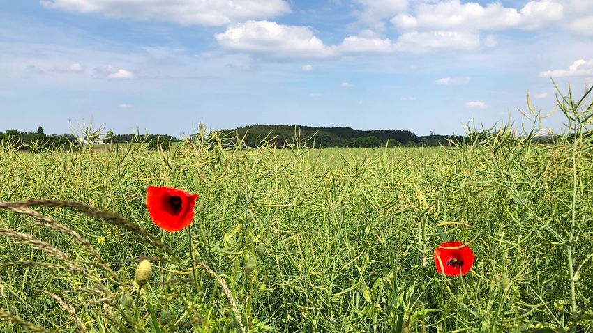 Poppy Plant Growth Sky Green Color Cloud - Sky Red Nature Field Land No People Landscape Beauty In Nature Agriculture Day Tranquility Flower Crop  Environment Tranquil Scene Flowering Plant