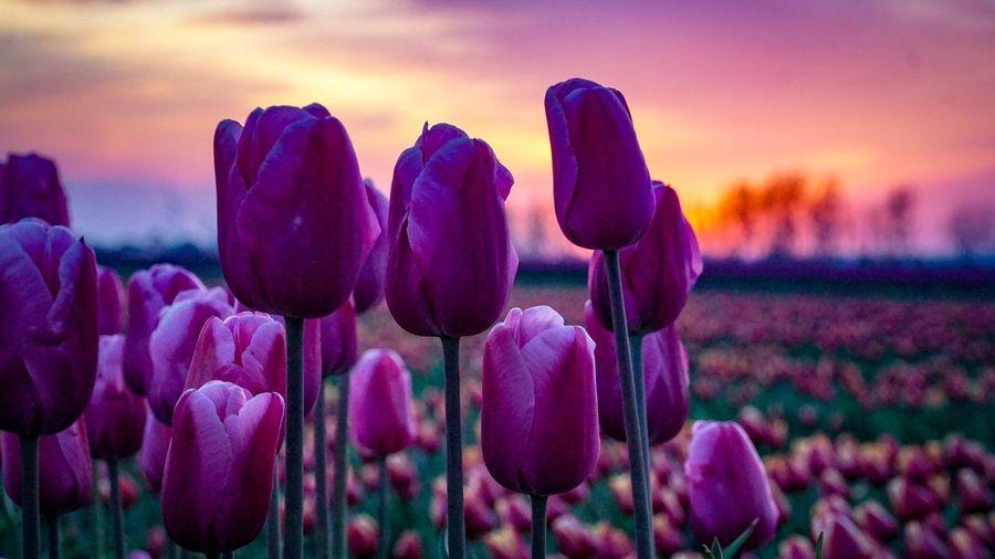 Tulip Beauty In