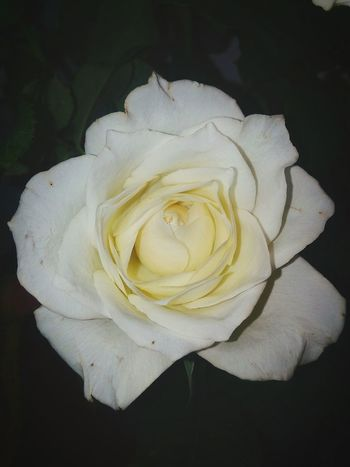 Rose - Flower Flower Close-up Petal Wilted Flower White Whiteflower Plant Fragility Indoors  Flower Head Beauty In Nature Nature