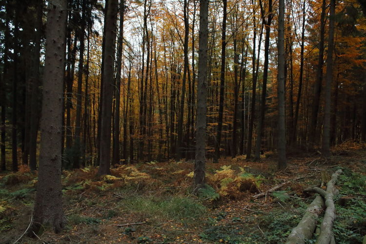 Autumn Mood Forest Tree Land Plant WoodLand Tranquility Trunk Tree Trunk No People Day Nature Growth Outdoors Beauty In Nature Non-urban Scene Tranquil Scene Environment Scenics - Nature Autumn Landscape Pine Woodland Forestry Industry