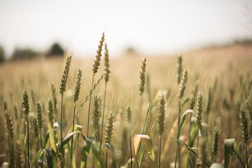 Wheat field in a beautiful sunny day Agriculture Barley Blur Cereal Crop  Farm Food Golden Plant Seed Straw Summer Sun Yellow