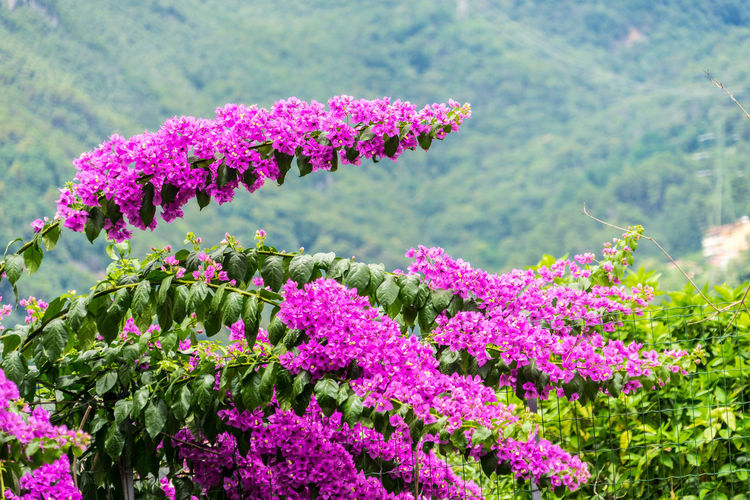 Nature Plants Summer Italy Tuscany Flower Flowering Plant Plant Beauty In Nature Growth Pink Color Freshness Vulnerability  Fragility Focus On Foreground Day No People Close-up Inflorescence Flower Head Green Color Petal Land Outdoors Springtime Purple Lilac