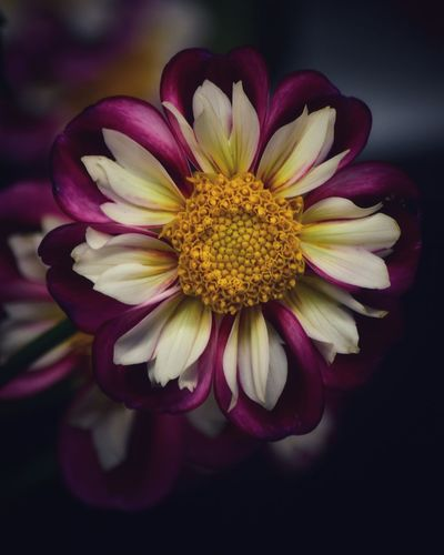 Dahlia Dahlias Flowering Plant Flower Petal Beauty In Nature Flower Head Freshness Vulnerability  No People Pink Color Indoors  Yellow Focus On Foreground Fragility Plant Pollen Nature Growth Close-up Inflorescence