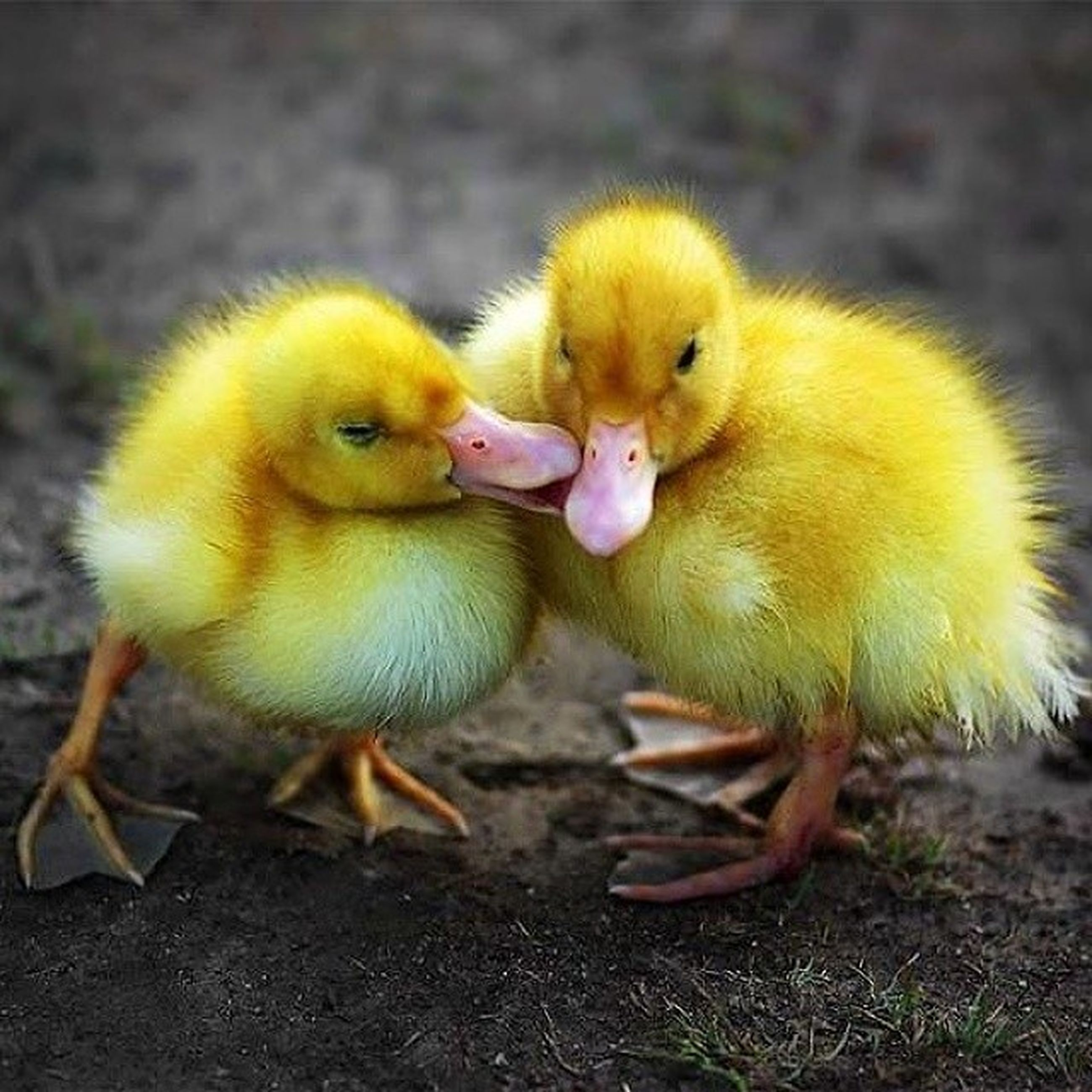 animal themes, animals in the wild, wildlife, bird, young animal, one animal, yellow, close-up, two animals, focus on foreground, young bird, cute, day, togetherness, duck, nature, no people, duckling, outdoors, green color