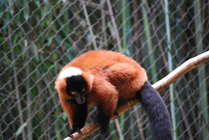 Animal Photography Animal Themes Animal Wildlife Beauty In Nature Close-up Day Mammal Nature No People One Animal Outdoors Red Ruffed Lemur Wildlife Photography