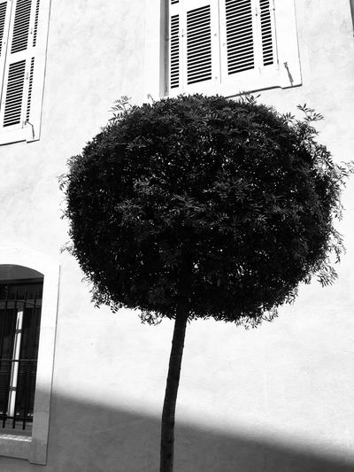Lollipop tree Lollipop Tree... Lollipop Ornamental Tree City Tree Manicured Garden Urban Tree Manicured Gardening A Perfect Circle Round Shadows And Light Shadows Perfection No People Architecture Close-up Wall - Building Feature Built Structure Day Window