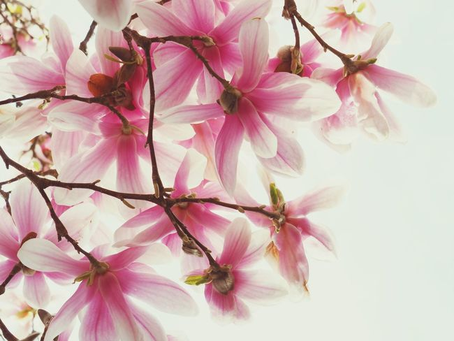 EyeEm Selects Flowering Plant Flower Pink Color Plant Freshness Beauty In Nature Fragility Close-up Petal Flower Head Springtime Nature Branch Blossom Tree Day Growth