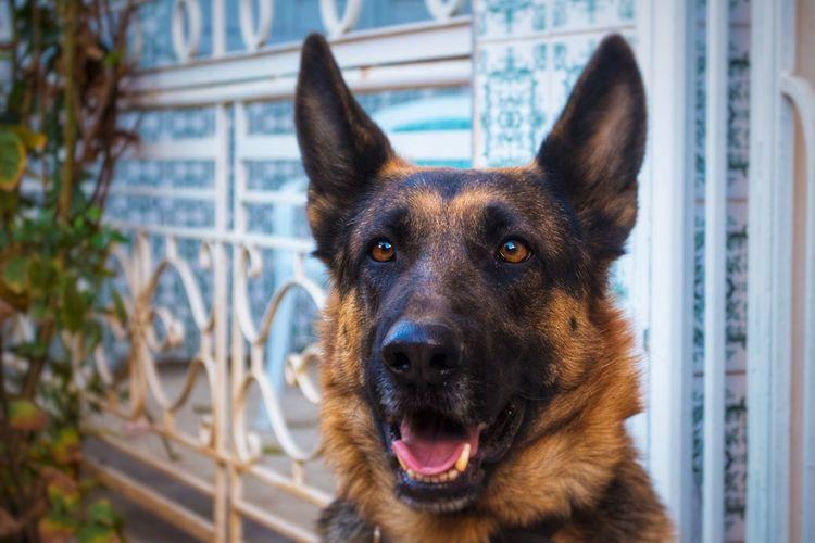 Close-up portrait of german shepherd