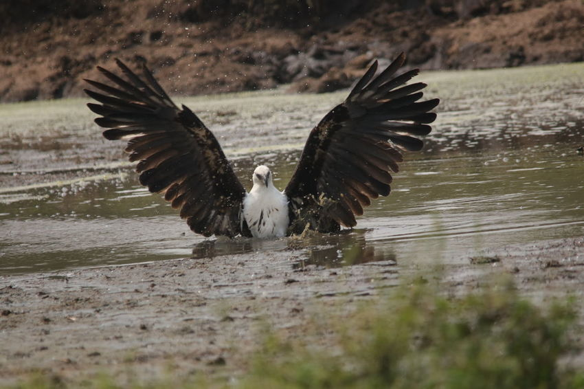 Eagle going in to attack Animal Themes Animal Wildlife Animals In The Wild Beauty In Nature Bird Bird Of Prey Close-up Day Flapping Flying Lake Mid-air Motion Nature No People One Animal Outdoors Spread Wings Water