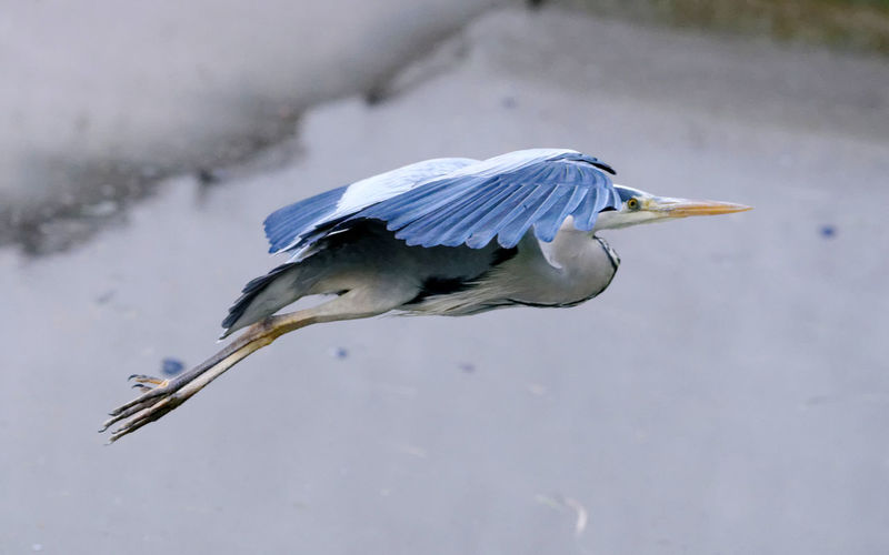 Animal Themes Animal Wildlife Animals In The Wild Beak Bird Day Flying Bird Flying Heron Gray Heron Grey Heron  Heron Heron Flying Nature One Animal Outdoors Wings