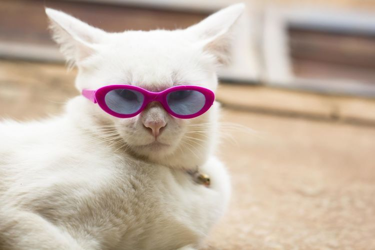 Portrait of cat on sunglasses