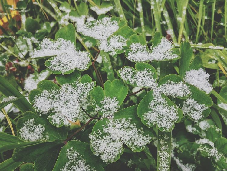 Let it snow ☘ Snow First Snow Grass In Snow Nature Green Color Outdoors Beauty In Nature Day No People Leaf Plant Freshness Winter Autumn Snowfall Snowflakes Winter Is Coming White Grass Trefoil Shamrock Shades Of Winter