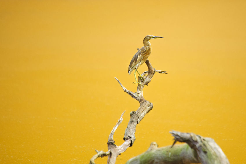 ARDEOLA BACCHUS on a branch with yellow lake at jakarta , indonesia Animal Animal Themes Animal Wildlife ARDEOLA BACCHUS Avian Beauty In Nature BLEKOK SAWAH Close-up Day Focus On Foreground Mammal Nature No People Outdoors Wildlife Wildlife & Nature