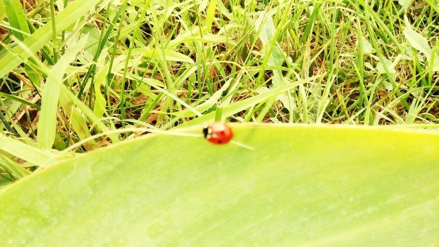 Nature Outdoors Summer Ladybug Ladybug🐞 Ladybug Collection Nature_collection Nature Photography Medusangel