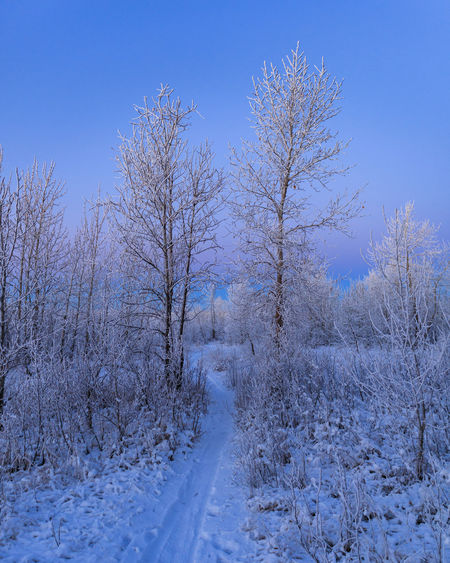 Bare trees on snow covered land against blue sky
