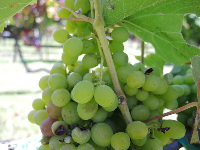 Agriculture Grapes! Grapevine Green Hanging Out Red Wine Moments Agriculture Photography Grapes Nature Photography Grapes On The Vine Grapes 🍇 Leaf Vineyard Wine