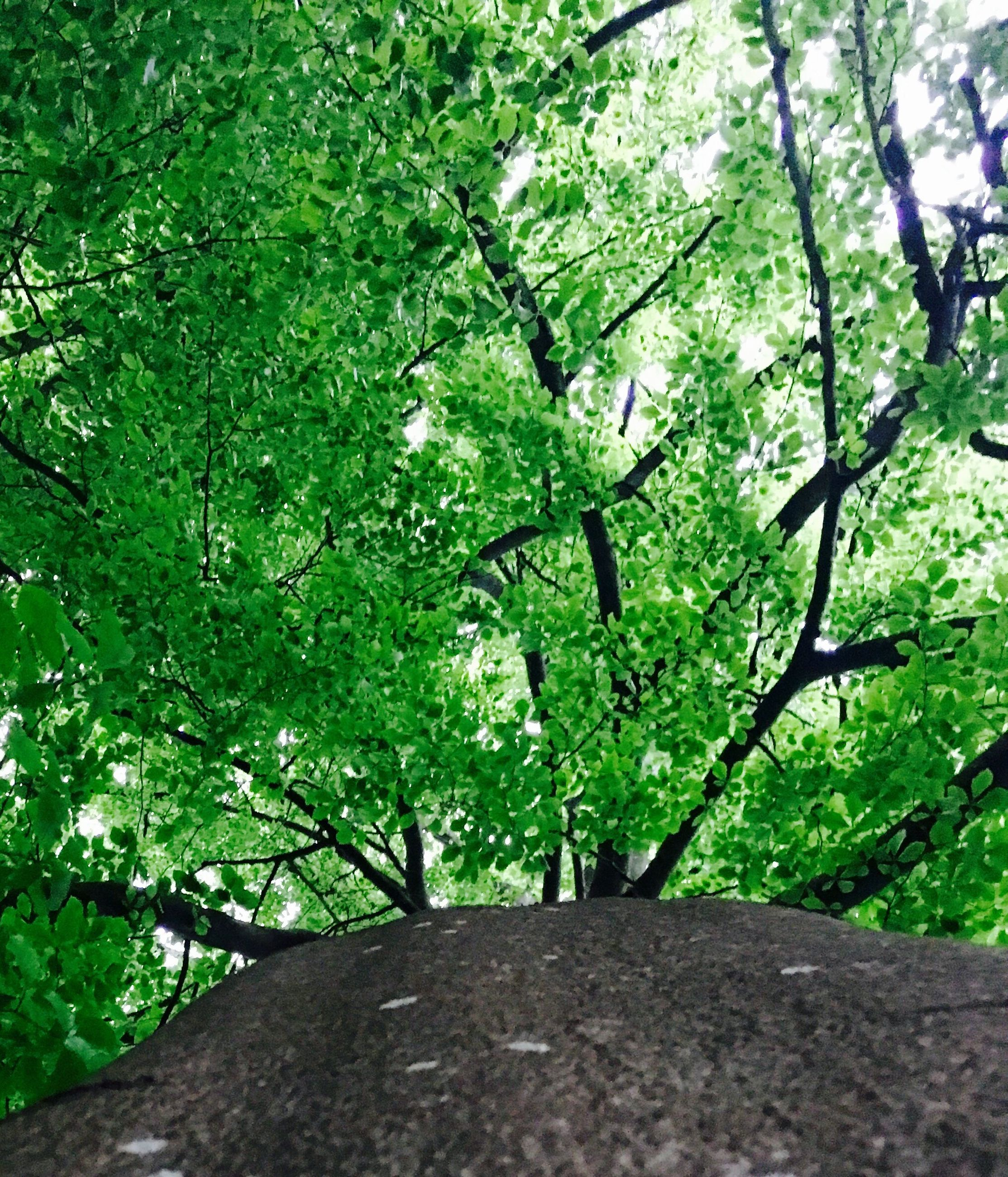 tree, growth, green color, branch, nature, tranquility, leaf, lush foliage, beauty in nature, tree trunk, low angle view, forest, green, tranquil scene, plant, day, outdoors, scenics, sunlight, no people
