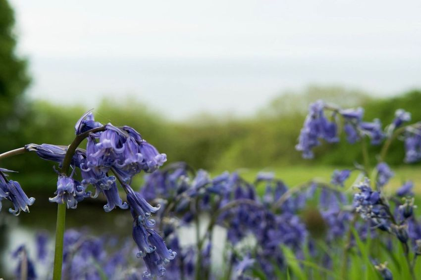 Flower Nature Beauty In Nature Fragility Growth Plant Focus On Foreground Day Field Outdoors Purple No People Close-up Petal Freshness Tranquility Flower Head Blooming Scenics Sky Bluebell Wildlife Countryside WoodLand Plant
