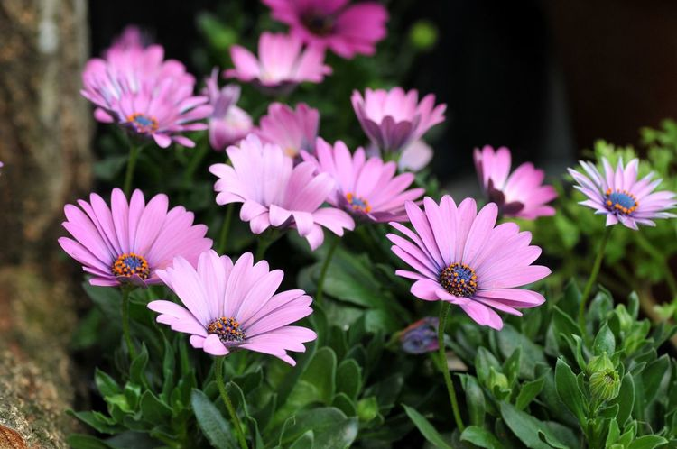 Flower Petal Flower Head Growth Fragility Freshness Nature Plant Day Beauty In Nature Outdoors Eastern Purple Coneflower No People Pink Color Blooming Close-up Osteospermum