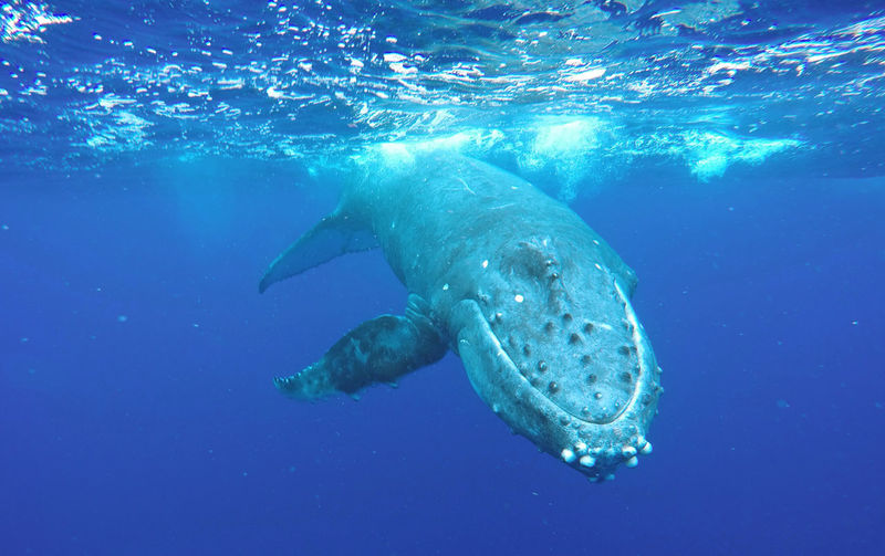 Humpback Whale Swimming Undersea