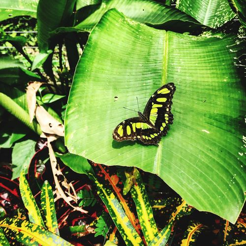 Animals In The Wild Animal Themes One Animal Insect Leaf Wildlife Butterfly - Insect Nature Green Color Animal Wildlife Outdoors Butterfly Close-up Beauty In Nature No People Plant