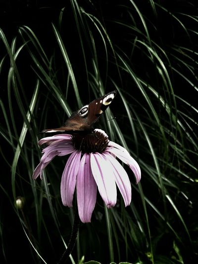 Echinacea Purpurea Butterfly Flower And Butterfly Miscanthus Grass Garden Garden Photography The OO Mission