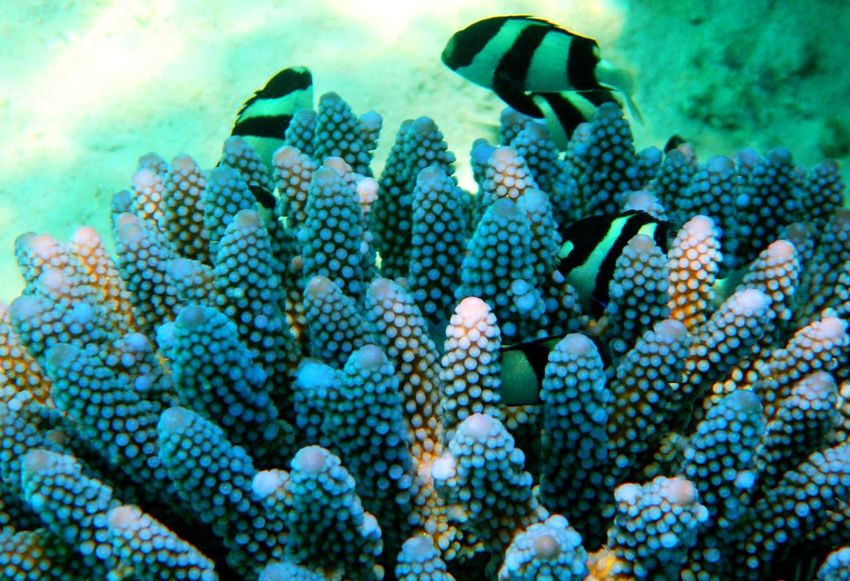 Beauty In Nature Multi Colored Close-up Closeup Shots Coralreef Color Contrast Clear Water Blue Water Exotic Fish Fish Fragility Island Ocean Life Black And White Fish Purple Coral Blue Coral Macro Underwater Underwater Photography Underwaterworld