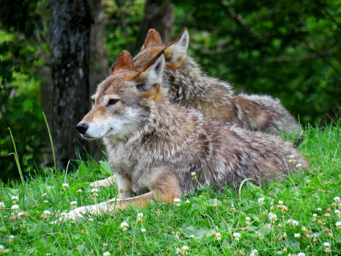 Couple of coyote relaxing on the grass under the trees Animal Animal Themes Mammal Animal Wildlife Plant One Animal Animals In The Wild Grass Nature No People Day Vertebrate Wolf Tree Looking Green Color Outdoors Looking Away Coyote Coyotes  Couple Wildlife Wildlife & Nature Wildlife Photography