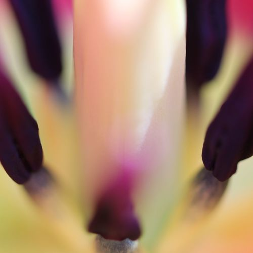 Staubgefäße Tulip Macro Macro Photography No People Nature_collection Nature Photography Defocused Nice View No Filter, No Edit, Just Photography View EyeEm Best Shots EyeEm Nature Lover EyeEm Selects EyeEm Gallery Tulpe Other Perspectives Multi Colored Close-up Defocused Purple Soft Focus Abstract Backgrounds Color Gradient Focus