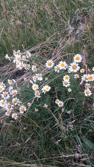 Close-up of white daisies blooming in field