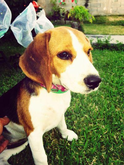 Beagle Donna Lour Jugando Con Papa Jugando Con Donna