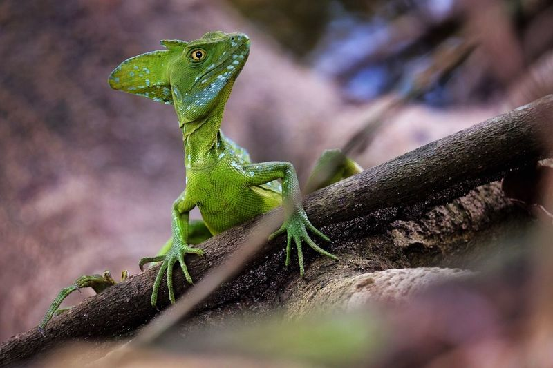 Basilisk Green Basilisk Green Color Reptile Animal Themes Animals In The Wild Lizard Animal Wildlife One Animal Selective Focus Day No People Close-up Outdoors Nature Branch Tree