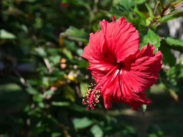 Red tropical flower. Red Hibiscus type flower (Hibiscus sinensis) with large pistils and fringed petals on green foliage. Beauty In Nature Blooming Close-up Day Flower Flower Head Focus On Foreground Fragility Freshness Growth Hibiscus Hibiscus Flower Nature No People Outdoors Petal Plant Red