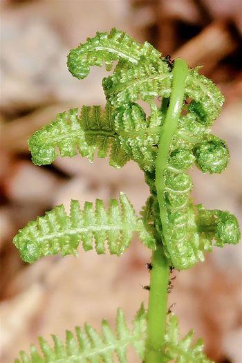 Curled green fern