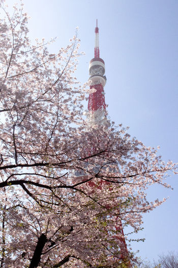 Tokyo Tower in spring 2015. Blue Sky Cherry Blossoms City Nature Clear Sky Japan Photography Red And White Colour Sky Spring Summertime Tokio Tokio Hotel Tokyo Tokyotower Tree View From The Ground