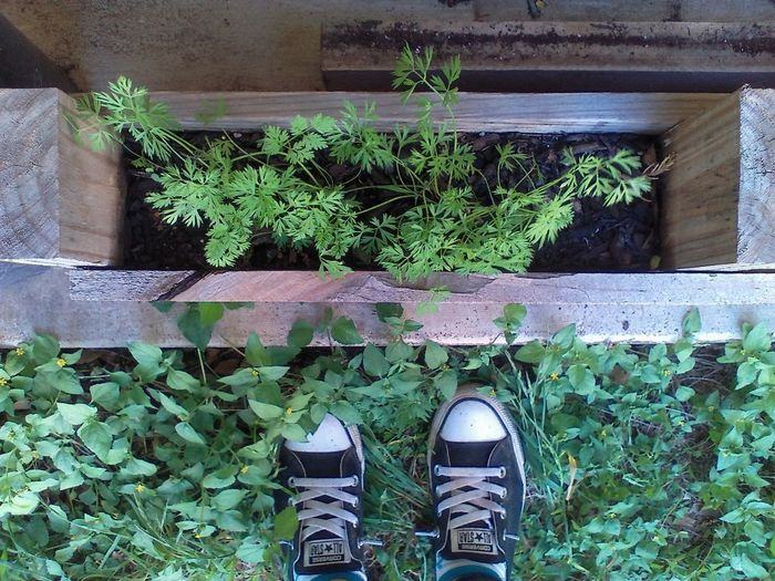 Converse EyeEm Nature Lover Gardening Growth Carrot Plant Carrots Converse All Star Converse⭐ Directly Above Growth Leaves Low Section Shoe Shoes Spring