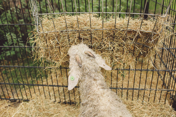 Domestic Animals Dry Grass Eating Feeding  Herbivorous RAM Sheep View From Behind