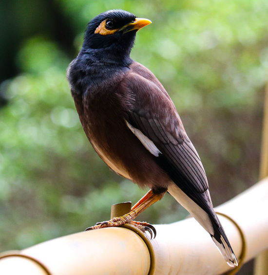 Mynah Mynah Bird Mynahbird Alone Close-up Animal Wildlife Bird Perching One Animal Outdoors Day Animals In The Wild Nature Animal Themes Birds_collection Canon 750d Beauty In Nature Nature Myna Alone... Beak Bird Photography Bird Watching Colourfull